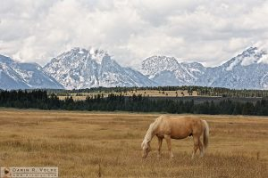 """Golden One"" [Horse Grazing in Mountain Landscape in Grand Teton National Park, Wyoming]"
