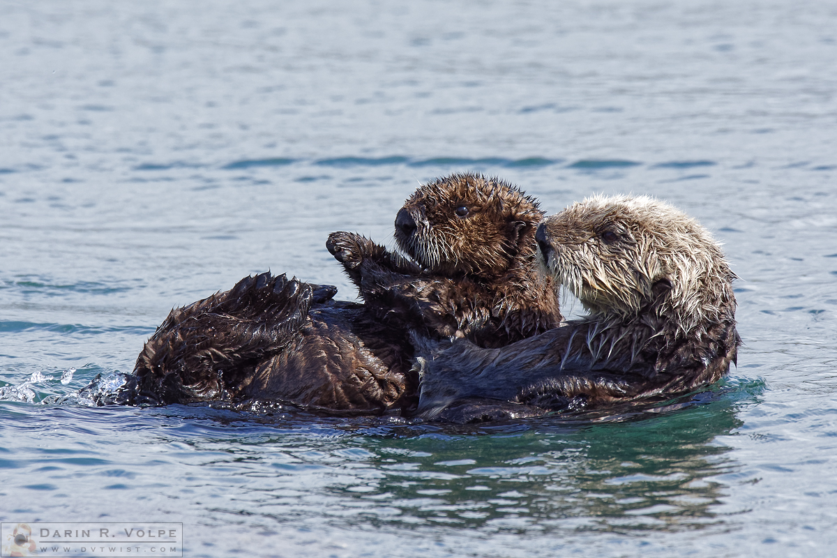 """Along for the Ride"" [Female Sea Otter and Pup in Morro Bay, California]"