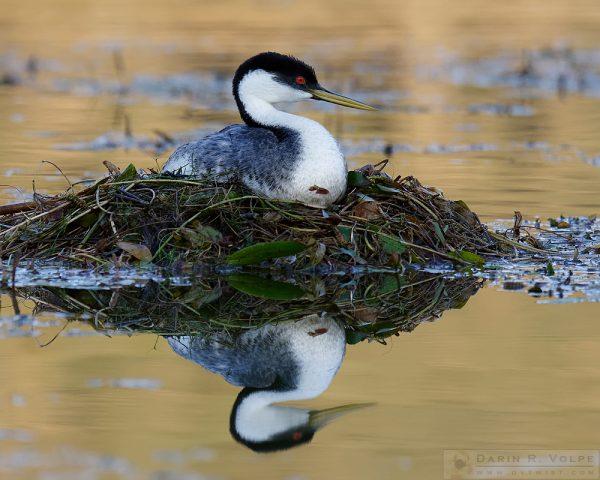 """""""Floating on a Mirror"""" [Western Grebe at Santa Margarita Lake, California]"""