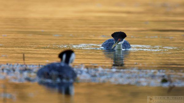"""""""Don't Lose Your Focus"""" [Western Grebe at Santa Margarita Lake, California]"""