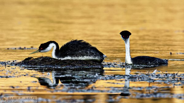 """The Moment of Anticipation"" [Male and Female Western Grebes at Santa Margarita Lake, California]"