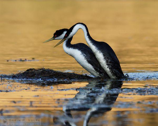 """""""Booty Call"""" [Western Grebes Mating at Santa Margarita Lake, California]"""