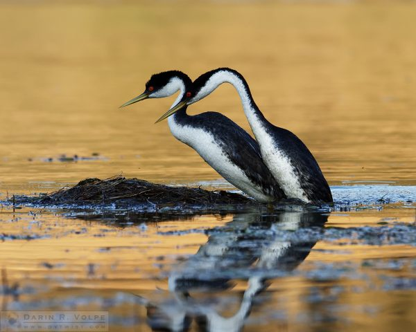 """""""Makin' Whoopee"""" [Western Grebes Mating at Santa Margarita Lake, California]"""