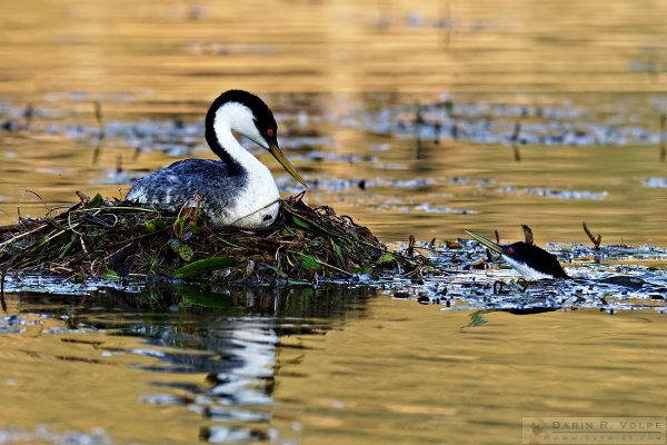 """""""Mind If I Pop In for a Visit?"""" [Male and Female Western Grebes at Santa Margarita Lake, California]"""