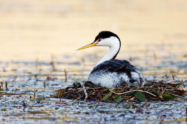 """Baby Food"" [Nesting Clark's Grebe at Santa Margarita Lake, California]"