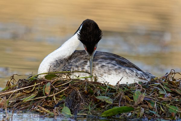 """Nesting"" [Western Grebe at Santa Margarita Lake, California]"