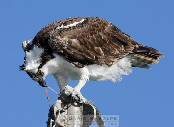 """Ain't Nature Beautiful?"" [Osprey Eating Jacksmelt In Morro Bay, California]"