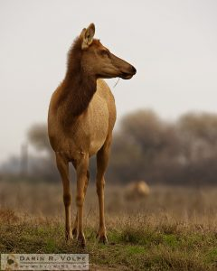 """Back from the Brink"" [Female Tule Elk at San Luis National Wildlife Refuge, California]"