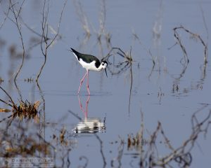 Black Necked Stilt - Merced National Wildlife Refuge