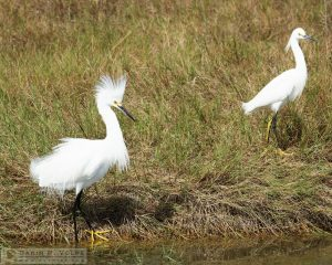 Catching Her Eye [Great Egrets at Merritt Island National Wildlife Refuge, Florida]