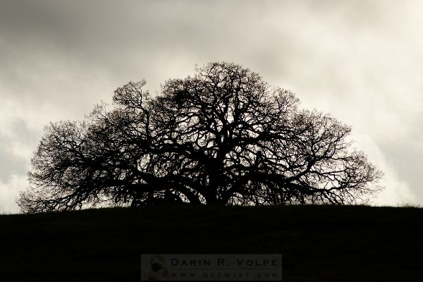 """Coast Live Oak"" [Creston California]"