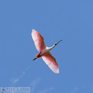 Contrails [Roseate Spoonbill At Everglades National Park, Florida]
