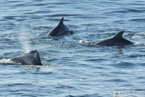 Dolphins Off Shore at Fiscalini Ranch Preserve - Cambria, California