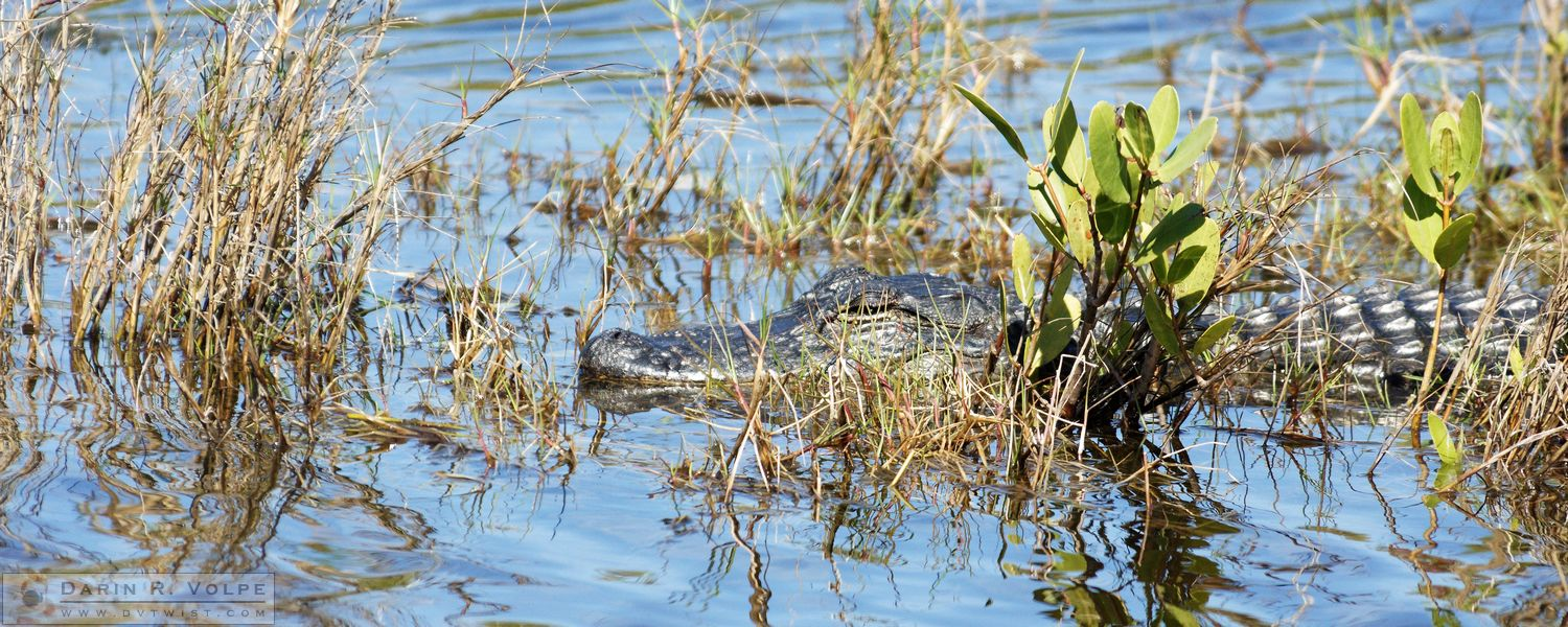 Don't Think I Don't See You There [American Alligator at Merritt Island National Wildlife Refuge]