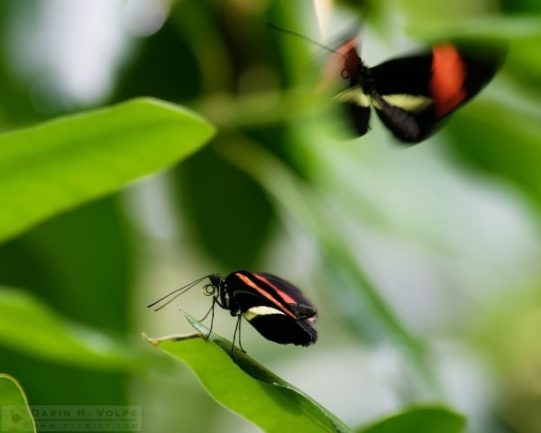 """Flutter By, O Butterfly"" [Red Postman Butterflies at California Academy of Sciences, California]"