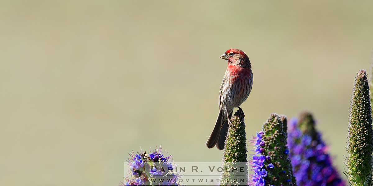 """Hollywood Finch"" [House Finch In San Simeon, California]"