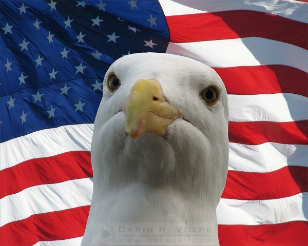 """I'm An Eagle, Dammit!"" [Western Gull And American Flag]"