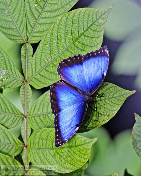 """Iridescence"" by Darin Volpe - Blue Morpho Butterfly At California Academy Of Sciences, San Francisco"