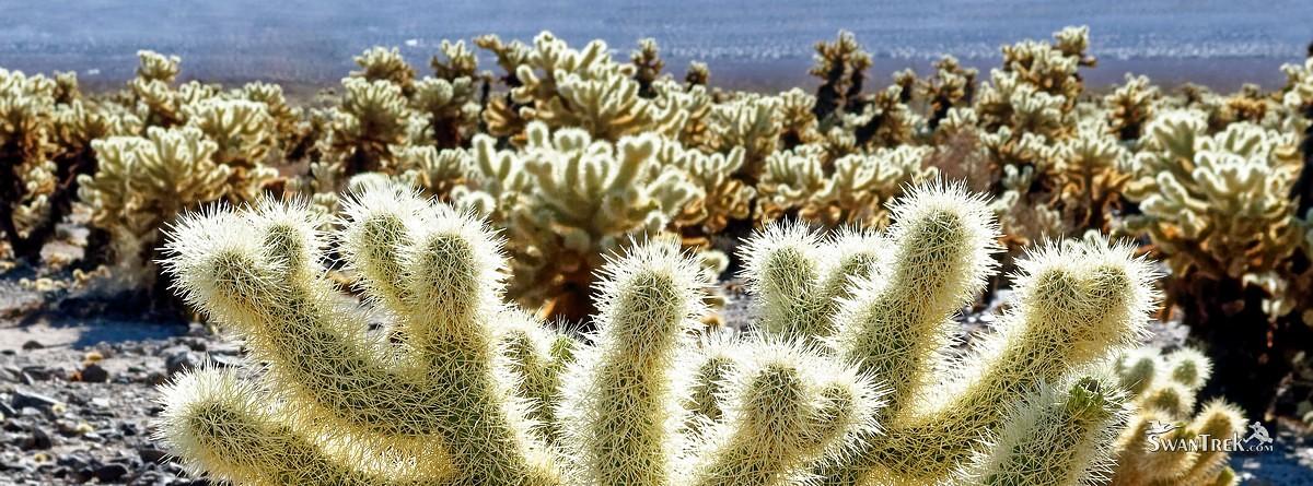 Cholla Cactus Garden [Joshua Tree National Park, California]