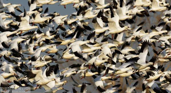 """Let's Get the Flock Outta Here!"" [Ross's Geese at Merced National Wildlife Refuge, California]"