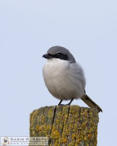 """Lichen This Post"" [Loggerhead Shrike at San Luis National Wildlife Refuge, California]"
