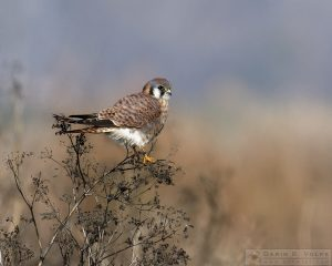 """Li'l Falcon"" [American Kestrel at Merced National Wildlife Refuge, California]"