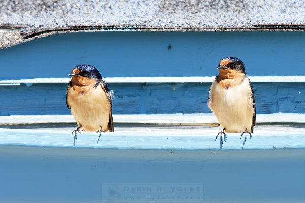 """Pair"" [Barn Swallows At Piedras Blancas Motel, California]"