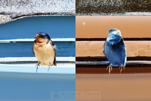 """Positive Polly And Negative Nellie"" [Barn Swallows At Piedras Blancas Motel, California]"