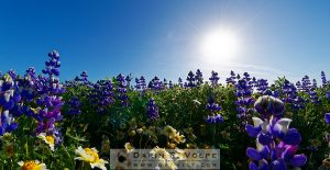 """Spring Morning"" [Tidy-tips And Lupine Wildflowers Near San Simeon, California]"