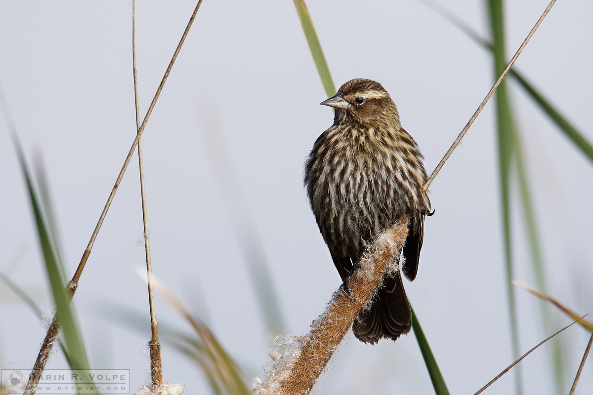 """Standing on the Cat's Tail"" [Red-Winged Blackbird at Merced National Wildlife Refuge, California]"