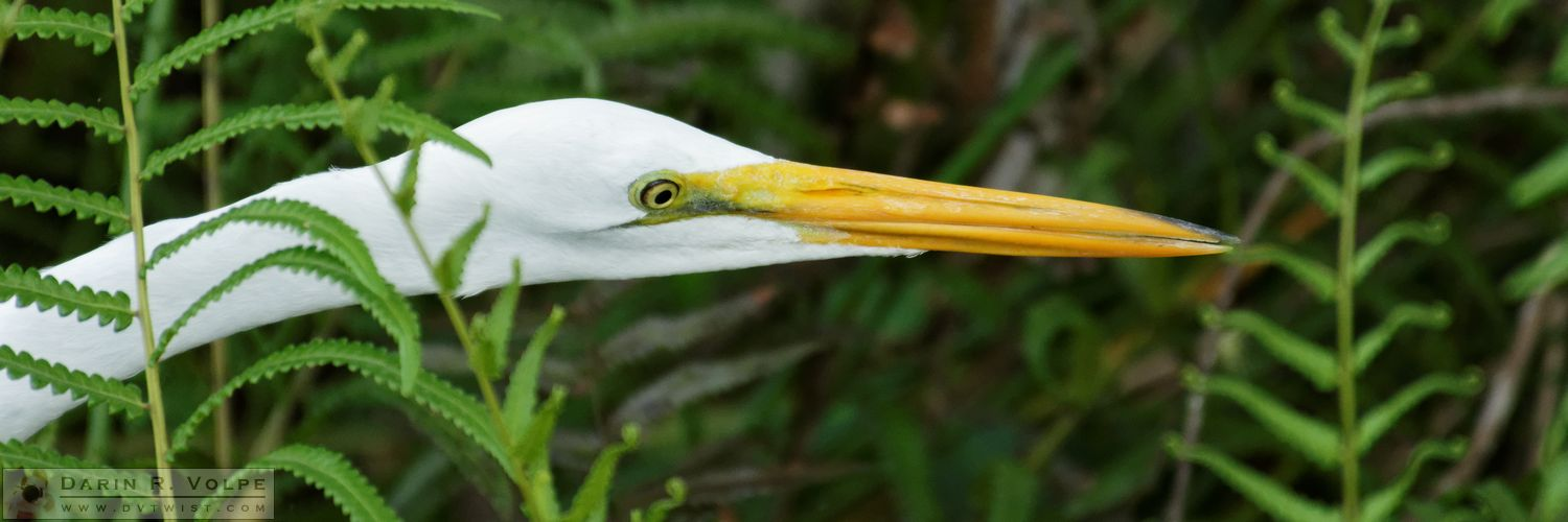 Sticking Your Neck Out [Great Egret At Everglades National Park, Florida]