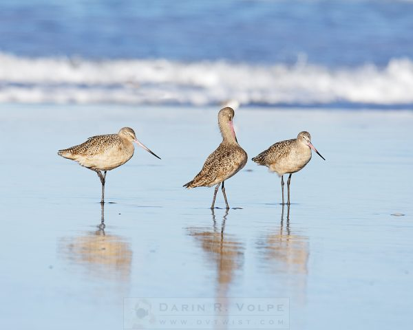 """Three Of A Kind"" [Marbled Godwits In Morro Bay, California]"