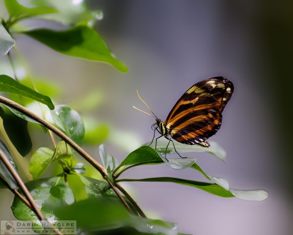 """Tropical Beauty"" [Tiger Longwing Butterfly at California Academy of Sciences, California]"