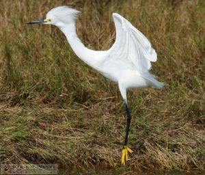 We Have Liftoff [Snowy Egret at Merritt Island National Wildlife Refuge, Florida]