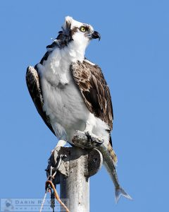 """A Fish in the Claw"" [Osprey with Jacksmelt in Morro Bay, California]"