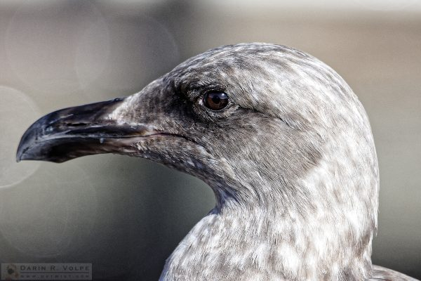 """First Winter"" [Western Gull in Morro Bay, California]"