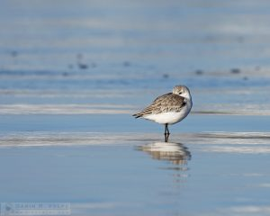 """Taking a Break"" [Sanderling in Morro Bay, California]"