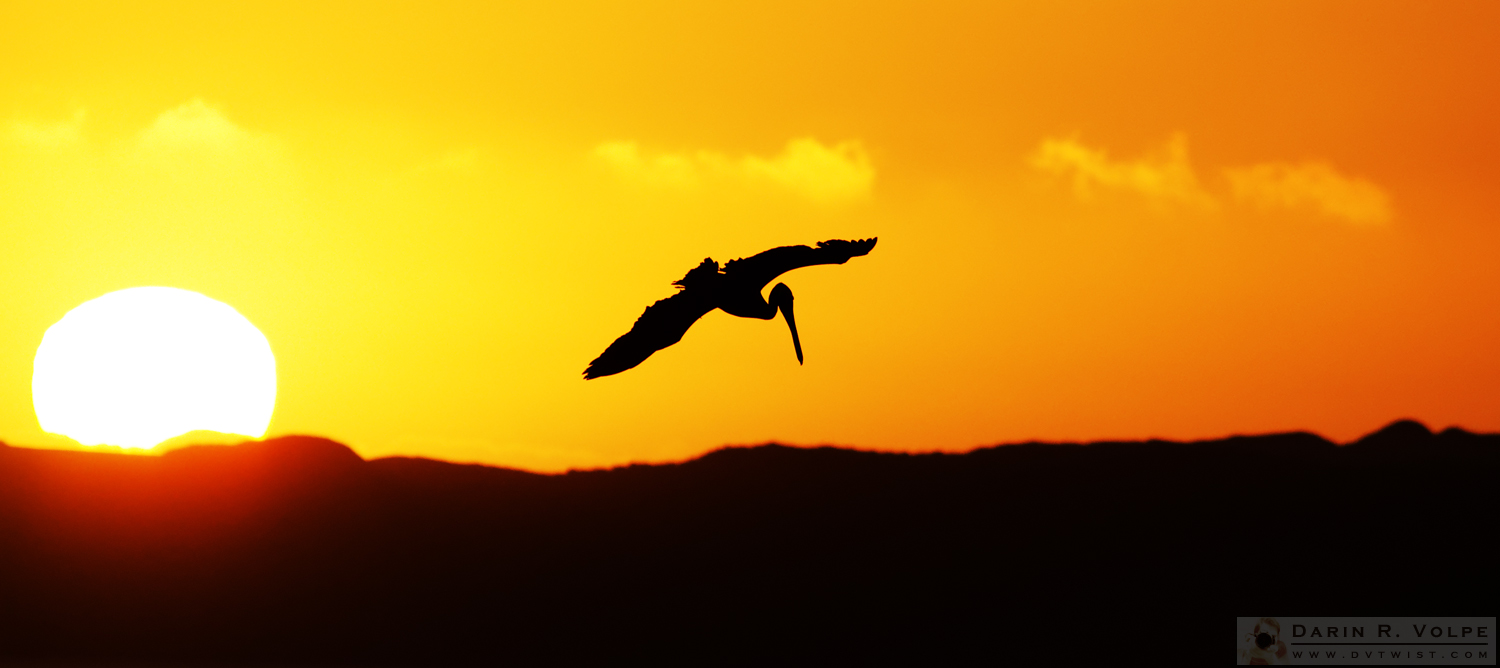 """The End of the Day"" [Brown Pelican at Sunset in Morro Bay State Park, California]"