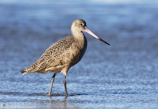 """""""Winter Guest"""" [Marbled Godwit in Morro Bay, California]"""